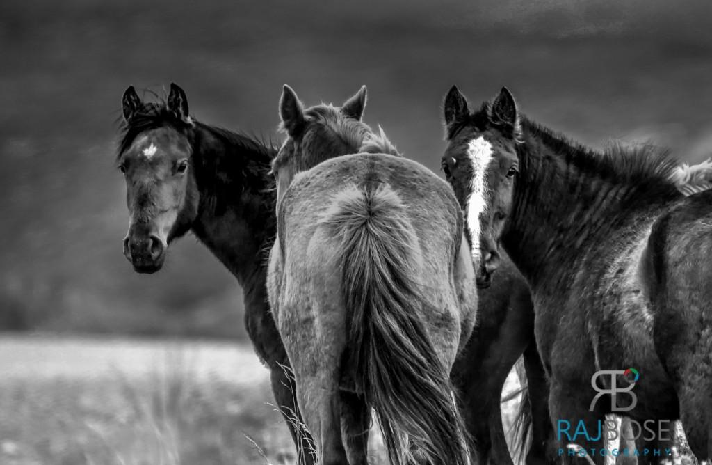 Wild Horses,
