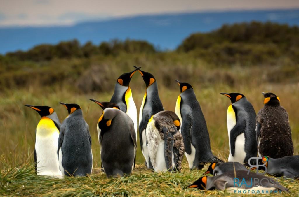 Majestic King Penguins at Parque Pinguino Rey, Tierra del Fuego
