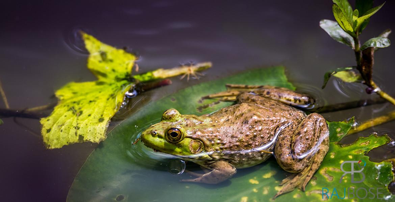 Sparkling Frog