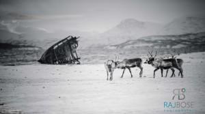 Reindeers in Tromso